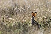 Scrub hare (Lepus saxatilis), Private reserve, South Africa