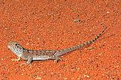 Western Netted Dragon (Ctenophorus reticulatus), Edaggee Rest Area, Carnarvon, WA, Australia