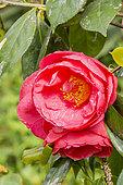 Camellia 'Laura Walker' in bloom in a garden