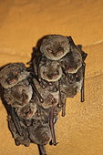 Schreibers' Long-fingered Bat (Miniopterus schreibersii) in cave, Isere, France