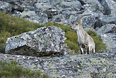 Spanish ibex (Capra pyrenaica victoriae) young adult male walking in the rocks, Sierra de Francia Spain