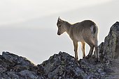 Spanish ibex (Capra pyrenaica victoriae) youngster of the year walking in the rocks, Sierra de Francia Spain
