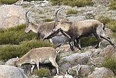 Spanish ibex (Capra pyrenaica victoriae) adult males and female grazing broom, Sierra de Gredos, Spain