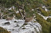 Spanish ibex (Capra pyrenaica victoriae) females resting on the edge of a steep, Ports de Tortosa Natural Park, Spain