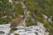 Spanish ibex (Capra pyrenaica victoriae) female resting on the edge of a steep, Ports de Tortosa Natural Park, Spain