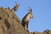 Spanish ibex (Capra pyrenaica victoriae) young adult male curious, Sierra de Francia Spain