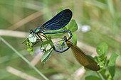 Beautiful demoiselle (Calopteryx virgo) mating, Creuse, France