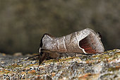Chocolate-tip (Clostera curtula) Mimetic Posture, Wood and Parks, Côtes d'Armor, Brittany, France