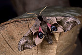 "Eyed Hawkmoth (Smerinthus ocellata) Imago male showing the large colored ""eyes"" of its hind wings to scare a predator, various semi-humid environments Côtes d'Armor, Brittany, France"