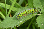 Emperor moth (Saturnia pavonia) Caterpillar on bramble, Moor and forest edge, Côtes d'Armor, Brittany, France