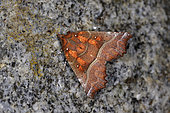 Herald (Scoliopteryx libatrix) Imago wintering in the basement of a house, France
