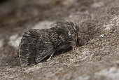 Oak processionary moth (Thaumetopoea processionea) resting imago whose caterpillars are very stinging, Hardwood decking with oaks, Côtes d'Armor, Brittany, France