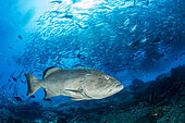Big Gulf grouper (Mycteroperca jordani) in front of a Shoal of Big-eye jacks (Caranx sexfasciatus), Cabo Pulmo Marine National Park, Baja California Sur, Mexico