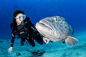Scuba diver with big Gulf grouper (Mycteroperca jordani), Cabo Pulmo Marine National Park, Baja California Sur, Mexico