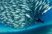 Scuba diver swimming with a big shoal of Big-eye jacks (Caranx sexfasciatus), Cabo Pulmo Marine National Park, Baja California Sur, Mexico