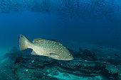 Leopard grouper (Mycteroperca rosacea), Cabo Pulmo Marine National Park, Baja California Sur, Mexico