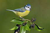 Eurasian Blue Tit (Cyanistes caeruleus), side view of an adult perched on a branch of an European Ivy, Campania, Italy