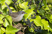 Sardinian Warbler (Sylvia melanocephala), side view of an adult female perched among European Ivy leaves, Campania, Italy