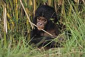 Portrait of Young Bonobo (Pan Paniscus), DRC