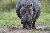 Hippopotamus (Hippopotamus amphibius) standing, Kenya , Masaï Mara, National Reserve