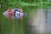 Hippopotamus (Hippopotamus amphibius) in the water close up, South Africa, Kruger national park