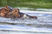 Hippopotamus (Hippopotamus amphibius) in the water close up, South Africa, Kruger national park, Afrique du Sud
