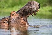 Hippopotamus (Hippopotamus amphibius) is yawning, South Africa, Kruger national park