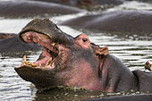 Hippopotamus (Hippopotamus amphibius) opening the mouth, Kenya , Masaï Mara, National Reserve