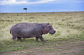 Hippopotamus (Hippopotamus amphibius) walking in the savannah with acacia, Kenya , Masaï Mara, National Reserve