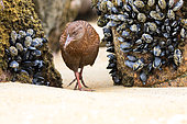 "The Weka (Gallirallus australis) is an endemic bird of New Zealand that has during the evolution lost the ability to fly like the famous Kiwi. It is very opportunistic and can eat various foods or sadly even human waste. This image of Weka was taken on a beach in Ulva island in New Zealand wich is ""predatory free"" because cleared of introduced mammals predators. The bird was not shy at all and came a few meters from me in search of mussels to eat at low tide. The Weka a is an endangered bird ranked vulnerable on the IUCN Red List."