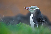 The Yellow-eyed penguin or hoiho (Megadyptes antipodes) is an endangered penguin, endemic of New Zealand. Katiki point