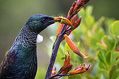 When we think about pollination, we usually think of insects. But in some places like New Zealand, birds play a big part in the pollination of some plant species. Here, Tui (Prosthemadera novaeseelandiae) feeds on the nectar of a harakeke flower. Thus, the pollen of the flower clings to its feathers and will then fall into other flowers. I realized this image near a small lake where a Tui was feeding and didn't care about my presence, a magical moment. Tui is one of the endemic species of New Zealand.