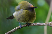 New Zealand bellbird (Anthornis melanura) Endemic bird of New Zealand, Abel Tasman National Park