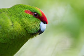 Red-fronted parakeet (Cyanoramphus novaezelandia) is an endemic parakeet of New Zealand. Here, an individual reintroduced in Zelandia predatory free sanctuary. Wellington