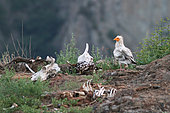 Egyptian vulture (Neophron percnopterus) searching food, Rhodopes, Bulgaria