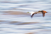 Pairs of Common eider (Somateria mollissima) in flight over the St. Lawrence River, Rimouski, Québec, Canada