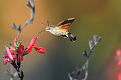 Hummingbird hawk-moth (Macroglossum stellatarum) in flight, Haute-Savoie, France