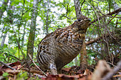 The bird is a Ruffed Grouse (Bonasa umbellus) and has been photographed in Jacque-Cartier National Park in Quebec (Canada) where its abundance is very high. Very surprised by the proximity of this meeting, I lay down on the floor a few minutes to be at its height. I then opted for the wide angle to put it in its environment: the boreal forest. Then I continued my hike to leave it alone. Galliformes are very territorial during the bridal period and come quickly to meet us in areas where they are not hunted.