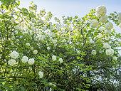 Viburnum opulus 'Nana'