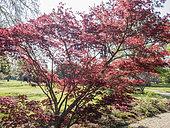 Acer japonicum 'Sumaigaï', Ecole du Breuil, Bois de Vincennes, Paris, France. 2019-04-12