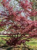 Acer japonicum 'Sumaigaï', Ecole du Breuil, Bois de Vincennes, Paris, France