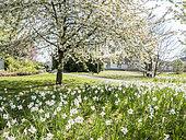 Prunus avium, Narcissus 'Actaea', Ecole du Breuil, Paris, France. 2019-04-12