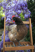 Chicken and Wisteria in bloom, France