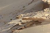 Grand duc du désert (Bubo ascalaphus), Réserve des Phoques moines. Nouadibou Mauritanie