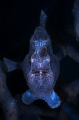 Commerson's frogfish (Antennarius commerson) on the lookout in a sponges. Mayotte