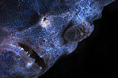 Portrait of Commerson's frogfish (Antennarius commerson) on the lookout in a sponges. Mayotte