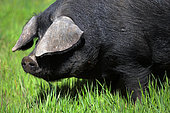 Gascogne pig in the grass, France