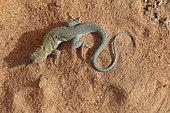 Golden Fringe-fingered lizard (Acanthodactylus aureus) on sand, Mauritania