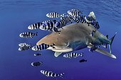 Sand tiger shark (Carcharias taurus) with Pilot Fish (Naucrates ductor), Red Sea, Egypt, Africa