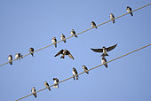 Sand Martin (Riparia riparia) group warming up on electric wires in the morning, Coto Donana National Park, Andalusia, Spain